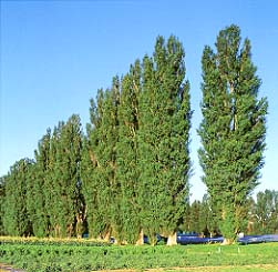 Image result for poplar trees