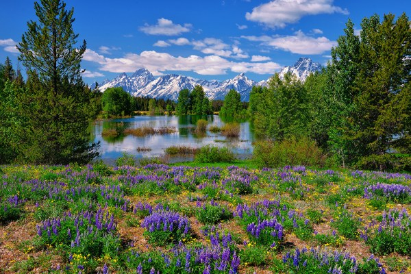 Grand Teton Yellowstone National Park Wildflowers