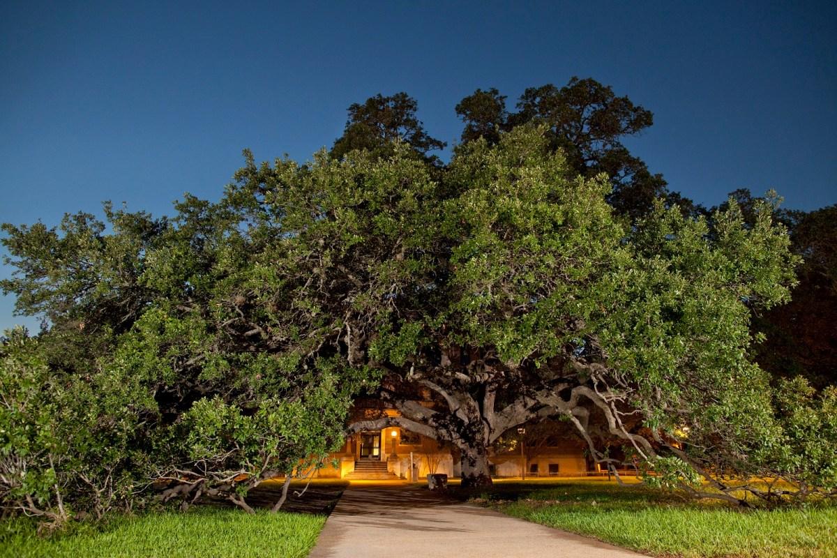 Century Tree at Texas A&M University