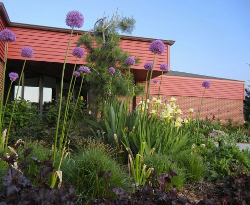 Spring Allium
