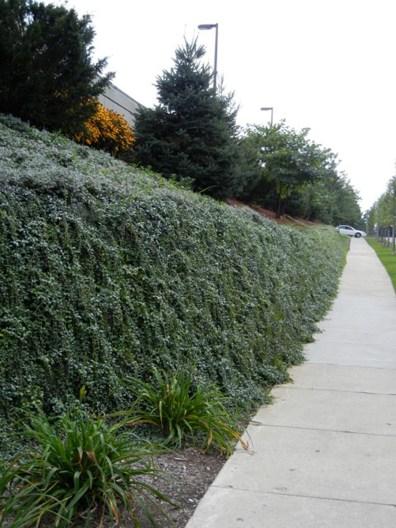 Vine on green wall