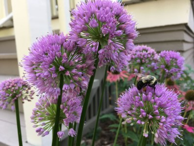 Bees on allium