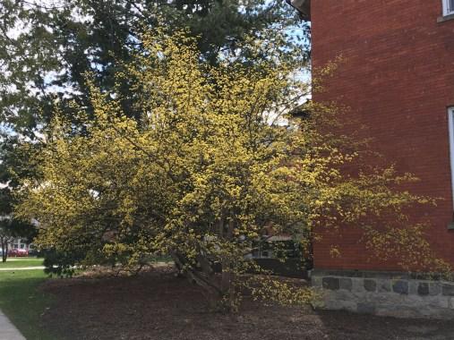 Cornus mas grows to be a small ornamental tree.