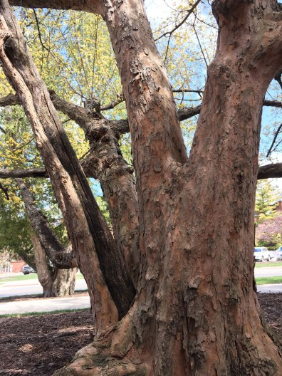 Cornelian Cherry Dogwood has unique mottled bark.