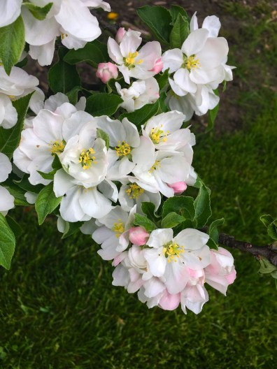 White Crabapple flower with light pink buds.