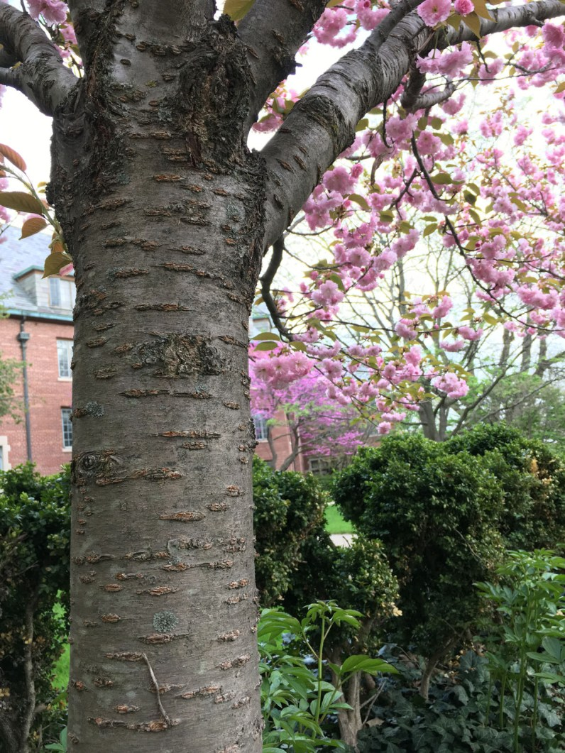 Horizontal lenticels are a key ID characteristic of Cherry trees.