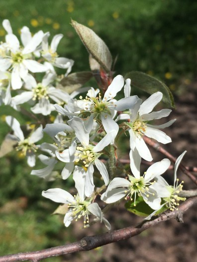 Delicate Amelanchier blooms.