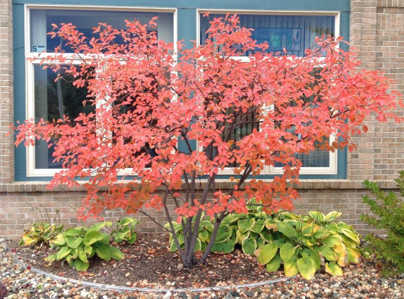 Amelanchier boasts of bright orange-red fall color.