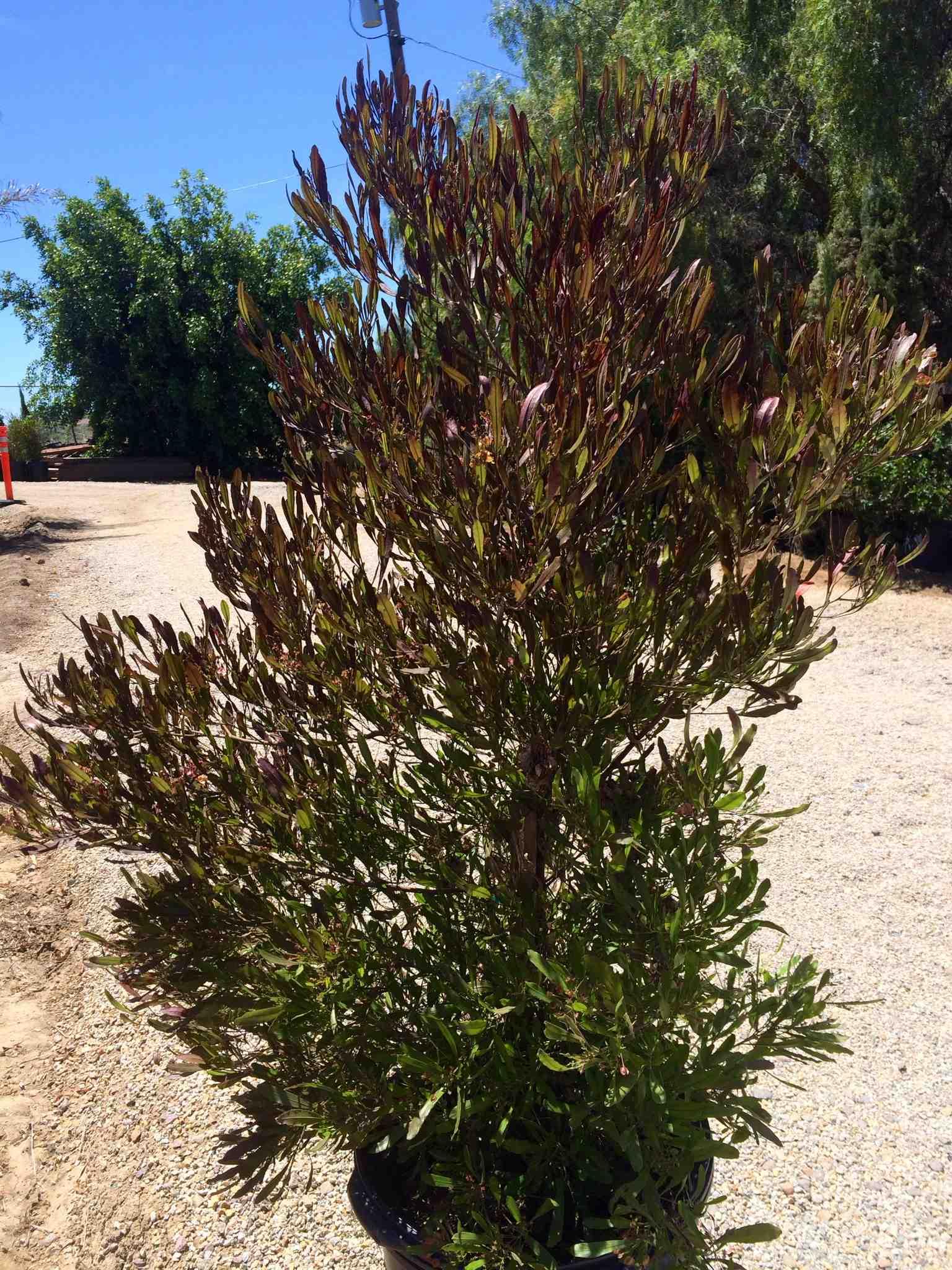 Picture of Live Purple Hopseed Bush aka Dodonaea v. 'Purpurea' column Plant Fit 5 Gallon Pot