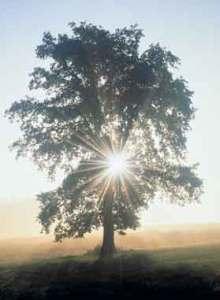 alberoluce