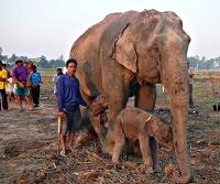 jumeaux - deux éléphanteaux mâles