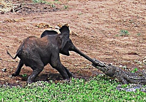 attaque d'un crocodile sur éléphanteau © 2010 Johan Opperman