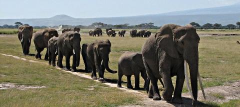 ainsi marchent les elephants