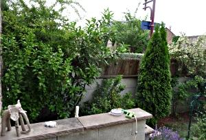 Cotoneaster lacteus, amélanchier , Viburnum Tinus,  laurier,  pIracantha orange glow