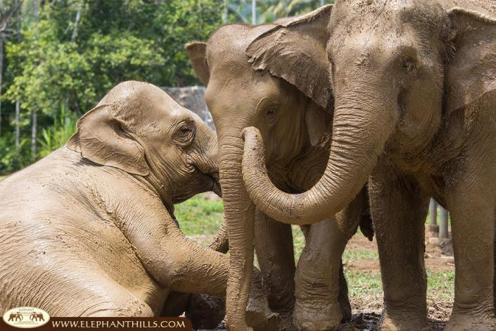 Like children, our elephants love to play in the mud