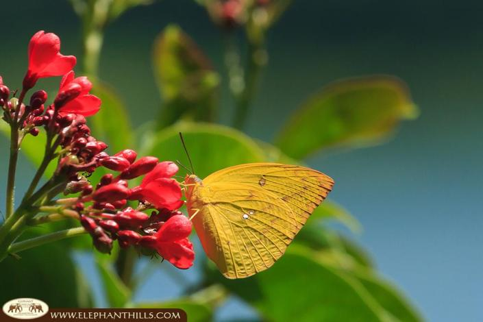 An orange colored Julia butterfly sitting on a flower