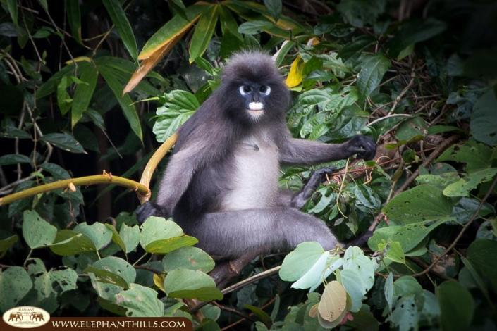 Dusky langur posing in front of the camera
