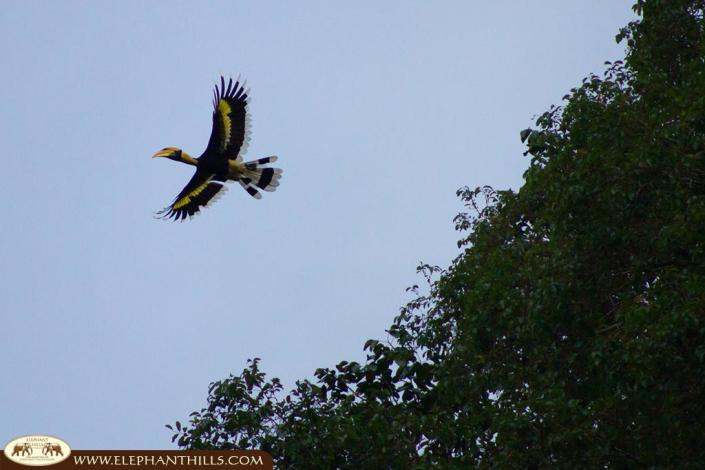A flying great hornbill which perfectly shows the wingspan of this bird and the size of the bird