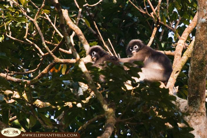 Two dusky langurs sitting high up in the crown of a tree