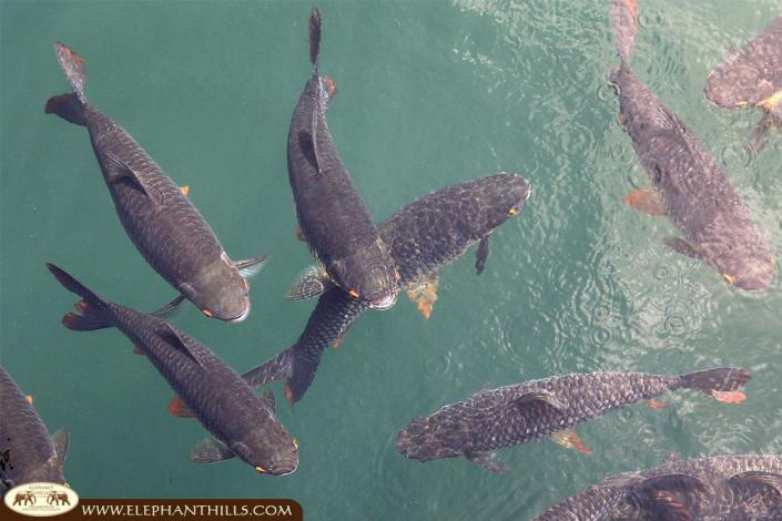 A shoal of carps swimming in Cheow Larn Lake
