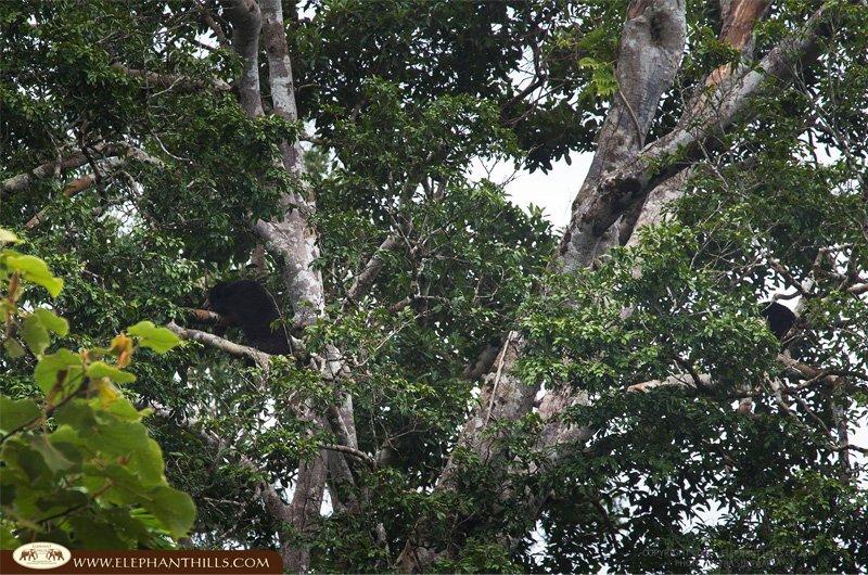 Malayan-sun-bear1