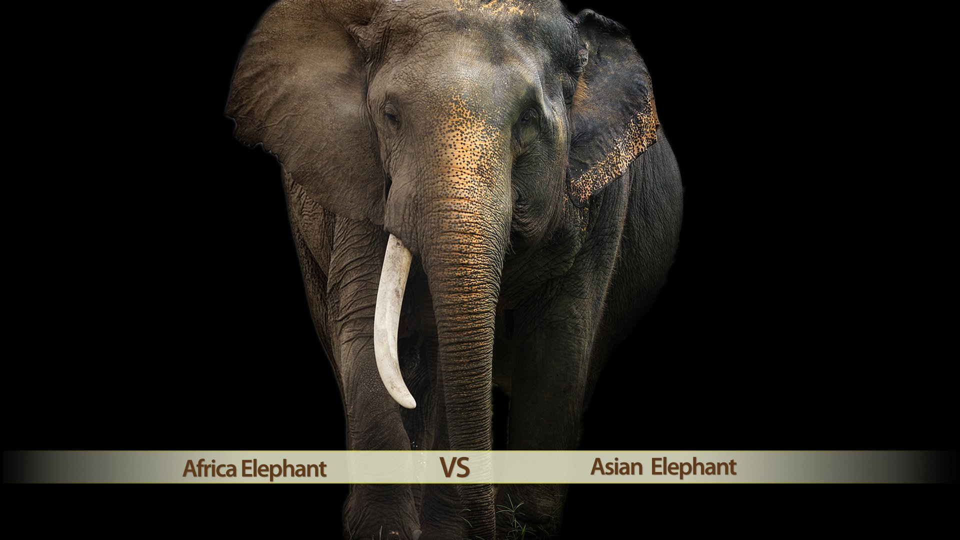 The difference of African and Asia Elephants