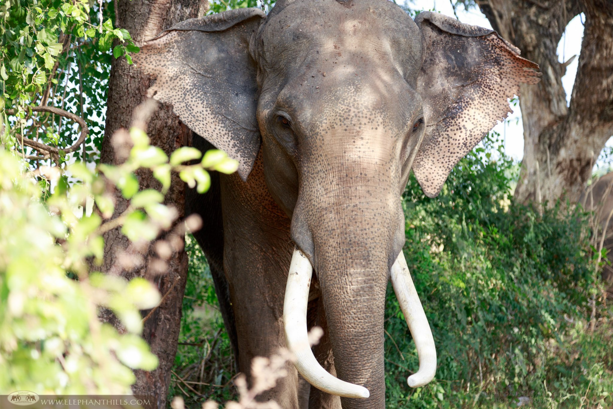 Male Asian Elephant with his long tusks