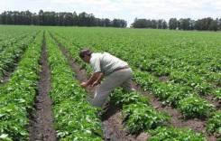 Seguro agrícola sirve para casos  de pérdidas de cultivos