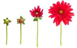 sbocciare-di-fiori