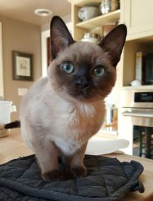 Ruby Tonkinese Cat