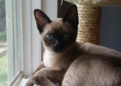 Natural Tonkinese Cat