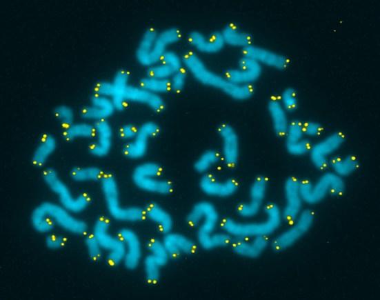 tinción de telómeros