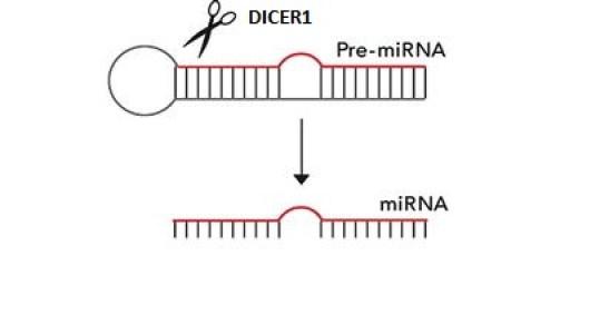 Formación miRNA