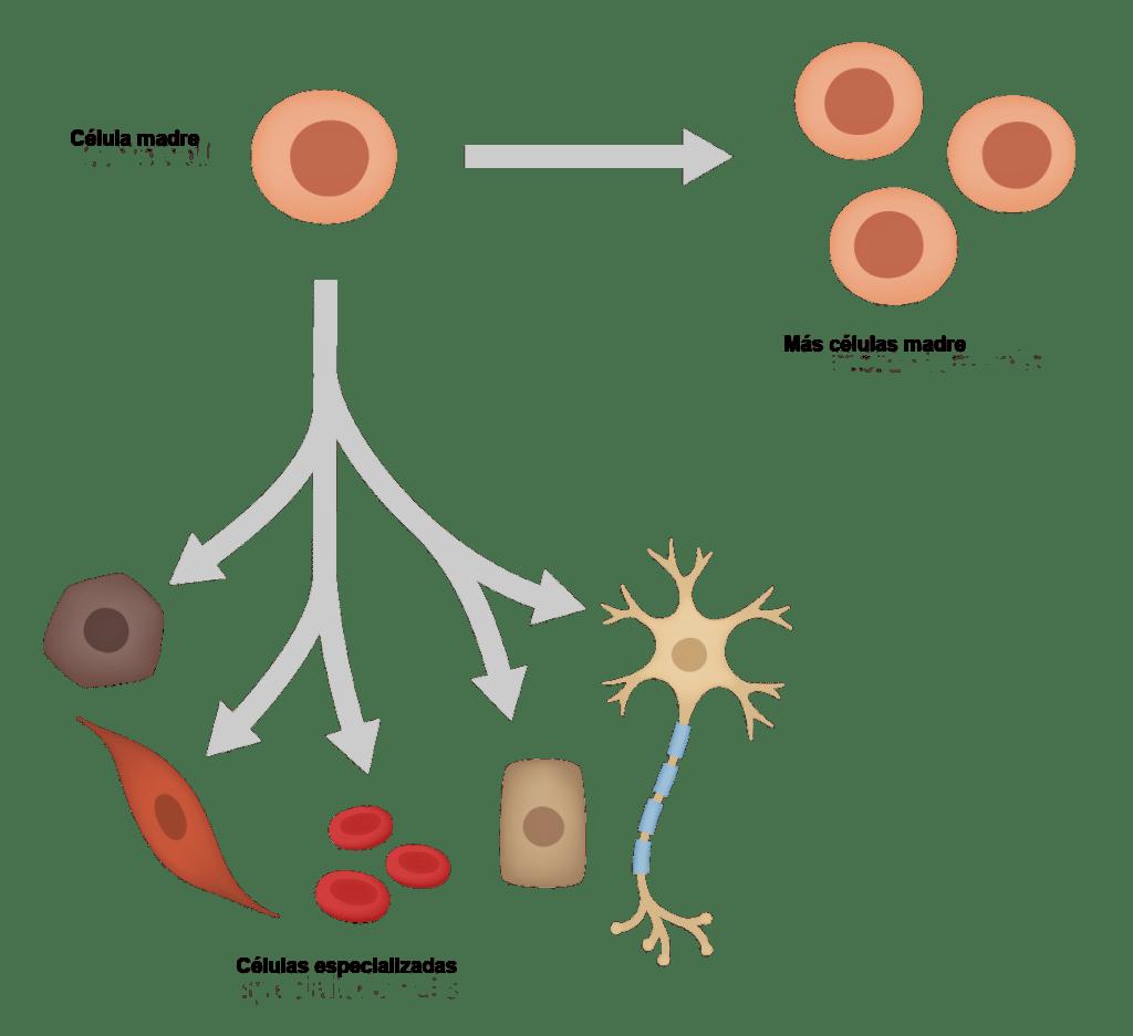 ilustración de la división asimétrica de las células madre
