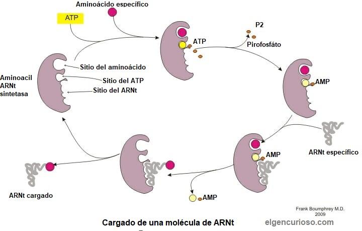 Carga del ARNt