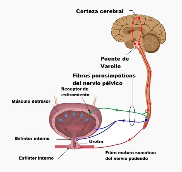 Control neural de la micción