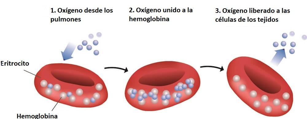 hemoglobina disociación de oxígeno glóbulos rojos O2 hierro hemo