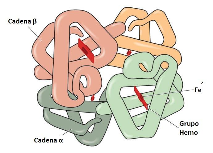hemoglobina hemoglobina hemo hemo globina proteína hierro cuaternario Fe glóbulos rojos eritrocitos