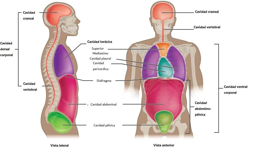 Cavidades ventrales