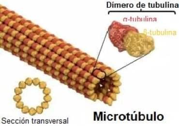 Estructura de microtúbulos