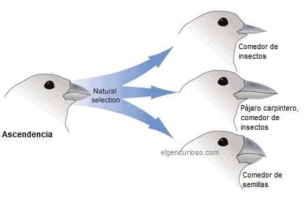 Evolución de los pinzones
