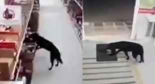 Perrito entra a tienda en Colombia, se roba comida y se sanitiza las patitas al salir