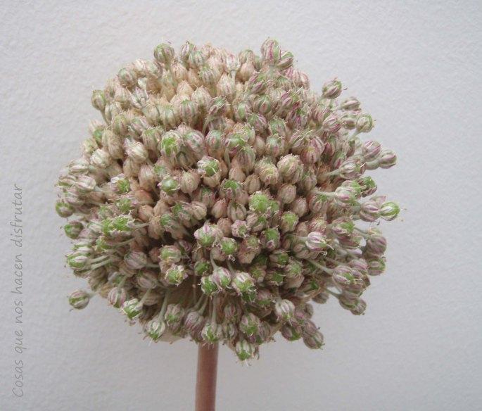 la-flor-del-puerro01.jpg