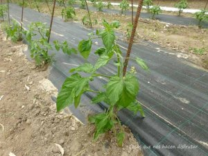 Técnicas de huerto: Cómo sembrar tomates con malla anti-hierbas.