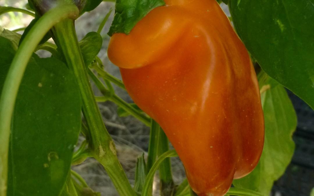 Pimientos morrones naranjas mini