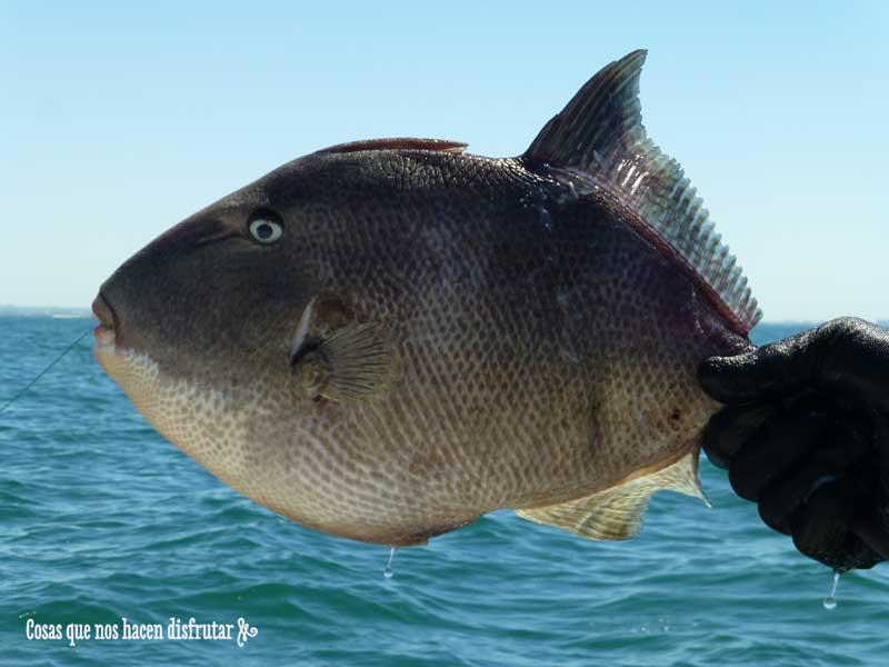 Pez tambor, pez ballesta o pez cochino