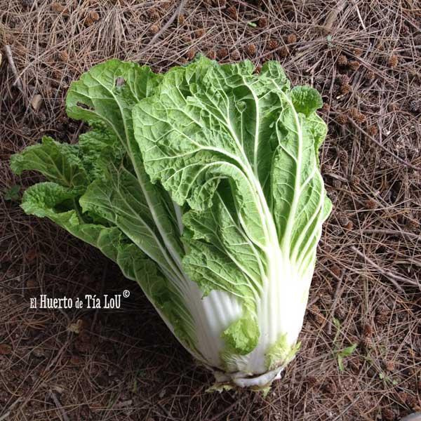 Descubriendo la col china o Brassica rapa pekinensis
