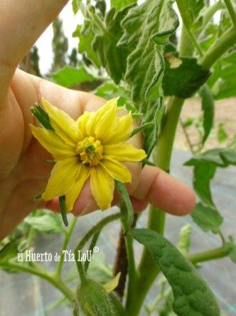 Cultivo de Tomates con Sabor Viento en popa tomatera