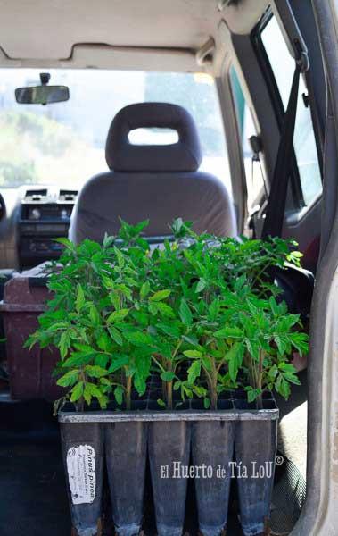 ¿ Nos acompañáis a sembrar los Tomates con Sabor ?