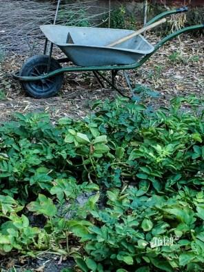 Cómo cosechar Patatas de Sanlúcar #ByTíaLoU (2)